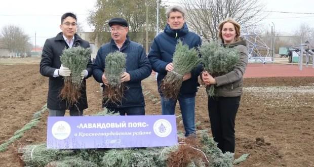 «Лавандовый пояс» Крыма: в Красногвардейском районе высаживают 6 тысяч саженцев лаванды