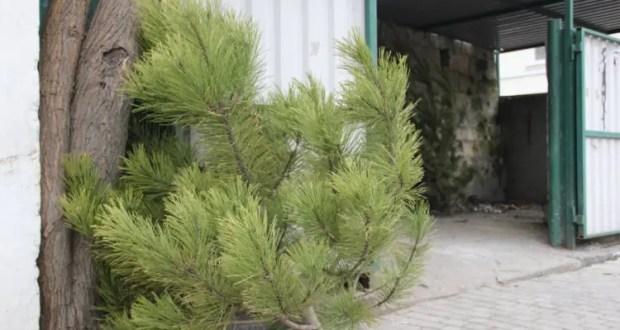 В Севастополе действуют точки сбора новогодних елок для переработки