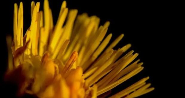 10 апреля — день святого Иллариона. Мать-и-мачеха