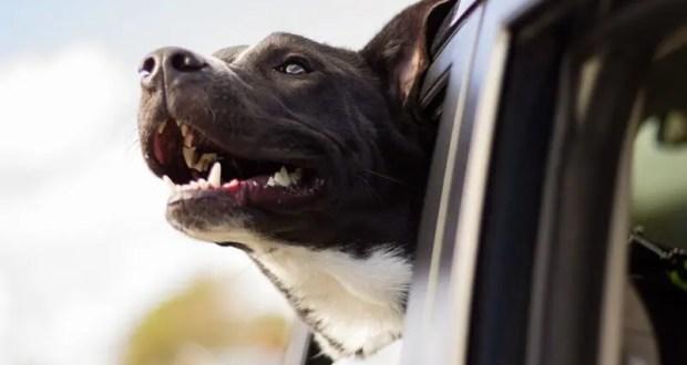 Как сделать поездку на дачу безопасной для собаки? Советы кинологов