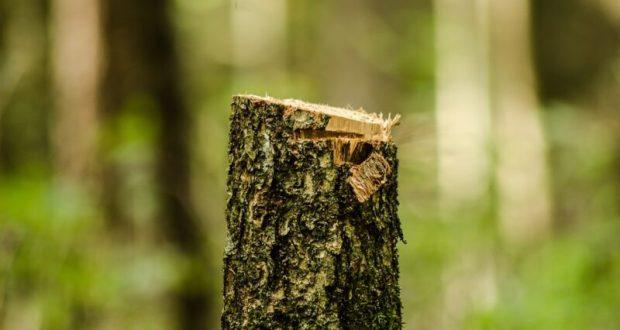 На территории Судакского лесничества незаконно вырублено почти две сотни деревьев. Разбирается прокуратура