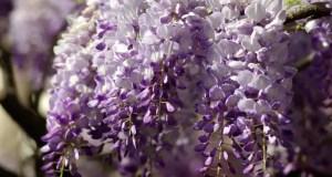 В Ялте создают карту цветения глицинии