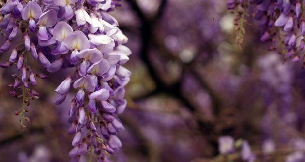 В конце мая Ялту украсит фестиваль «Дни любования глицинией»