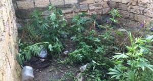 Трудолюбивый аграрий? В Саках местный житель выращивал на приусадебном участке коноплю