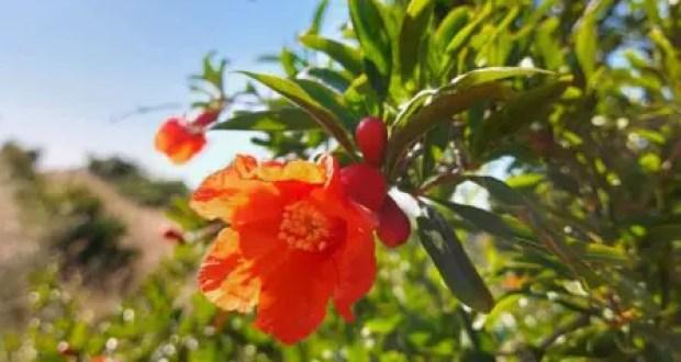 В субтропическом центре КФУ завязались плоды оливы и инжира