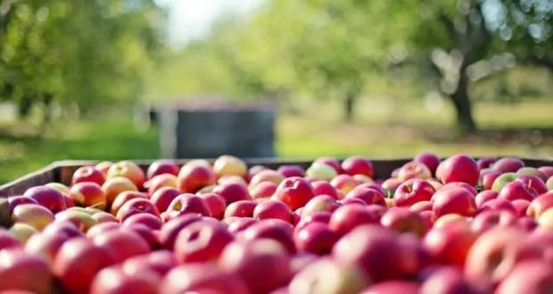 В Крыму собирают яблоки
