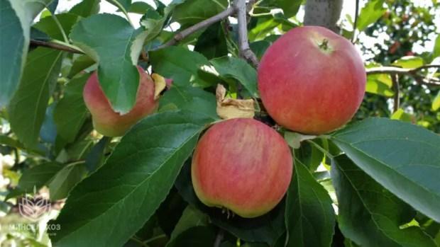 Крымские аграрии собрали более 200 тонн яблок