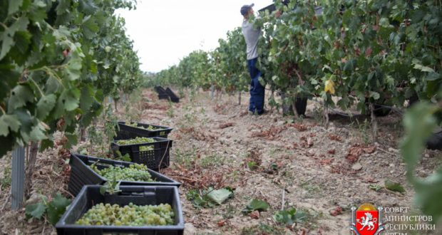 Крымские аграрии собрали 2160 тонн винограда