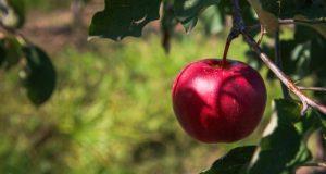 В суперинтенсивном яблоневом саду КФУ собирают урожай. Первый!