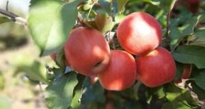 В Крыму собрано порядка 84 тысяч тонн плодово-ягодной продукции