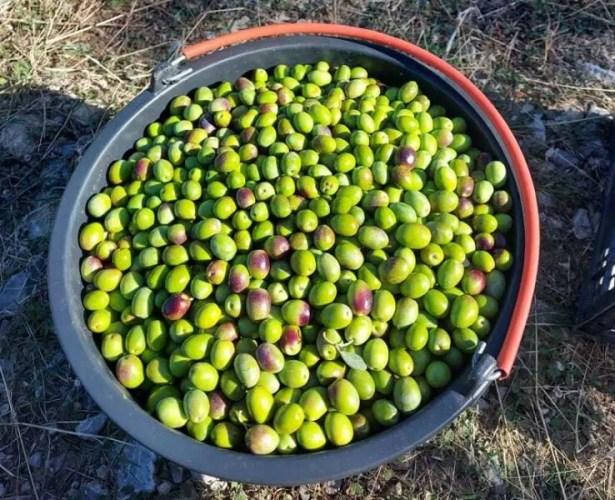 Собраны первые 200 килограммов оливок, из которых получат масло для бренда «Крымская оливка»
