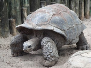 Photo of a giant tortoise