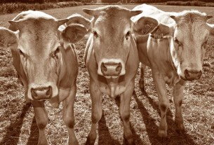 коровы тухлятина