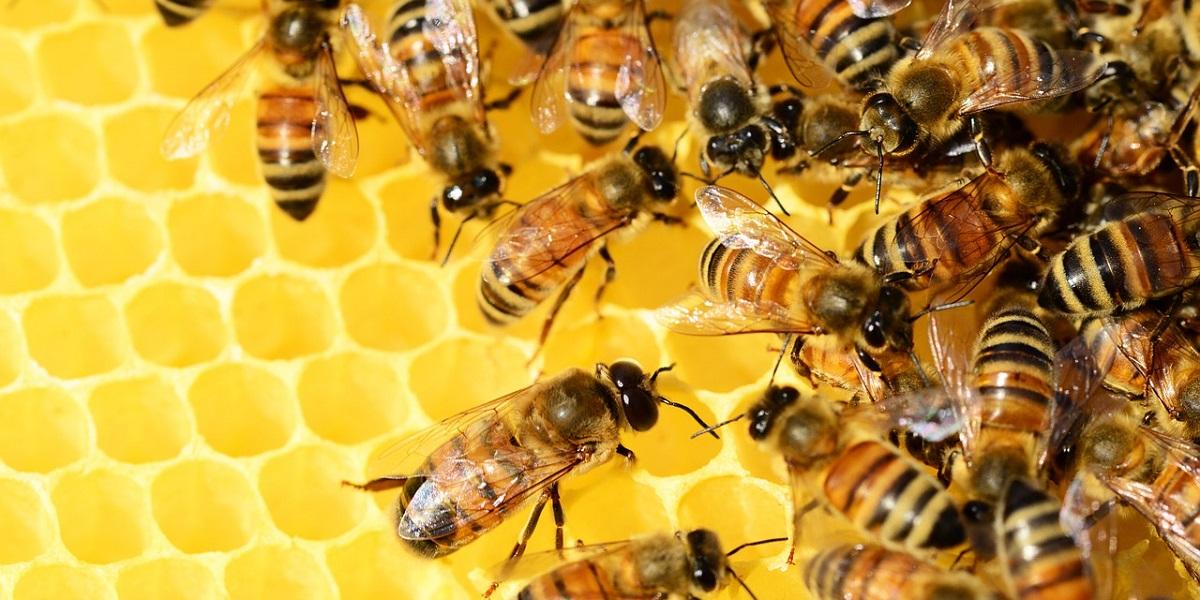 пчелы, Аргентина. иммунитет