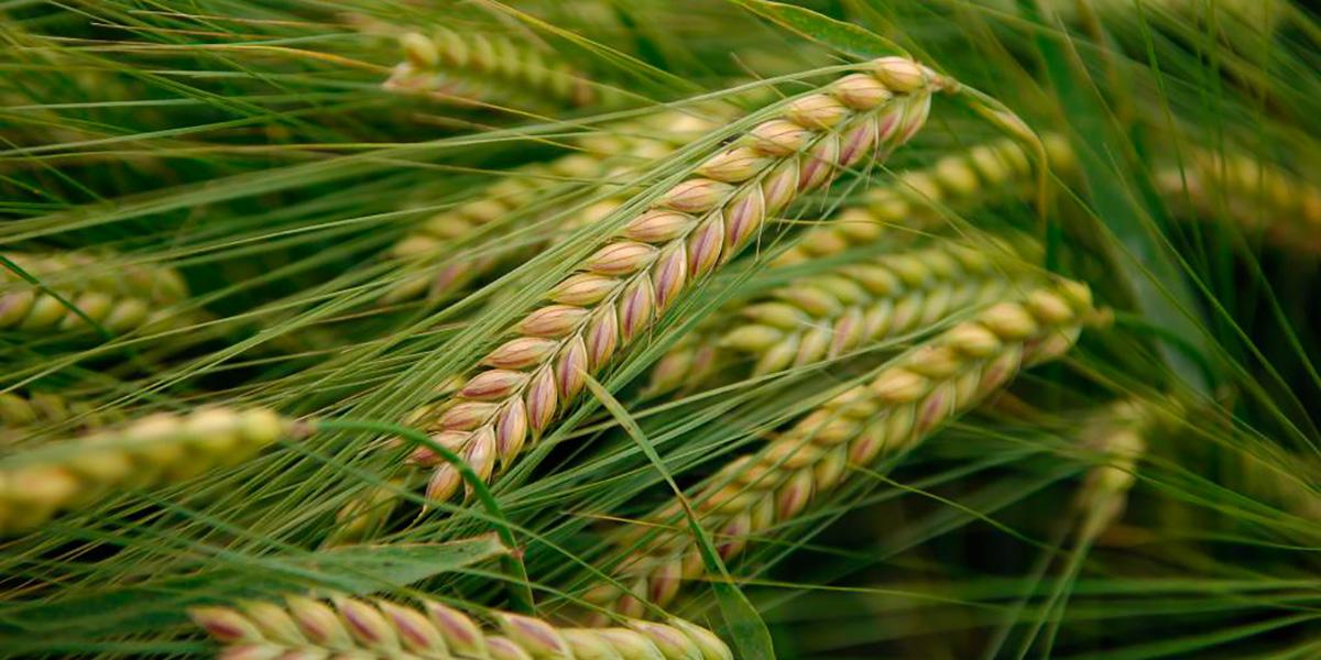 пшеница,органика.земледелие,Омск