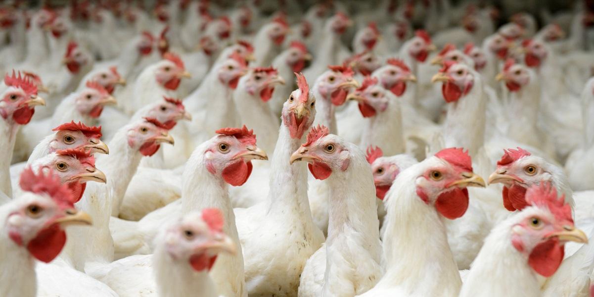 доксициклин,антибиотики, курятина,перья