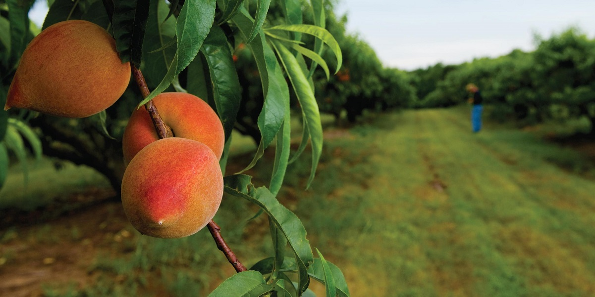 Билл Бэйдер,дикамба,Monsanto – Roundup, Bayer,BASF,персиковые сады