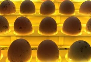 «Куриное царство – Брянск»,«Черкизово»,яйцо,инкубационные яица