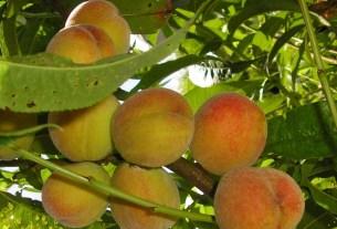 Крым, фрукты, заморозки