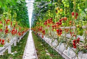 Эмираты, помидоры
