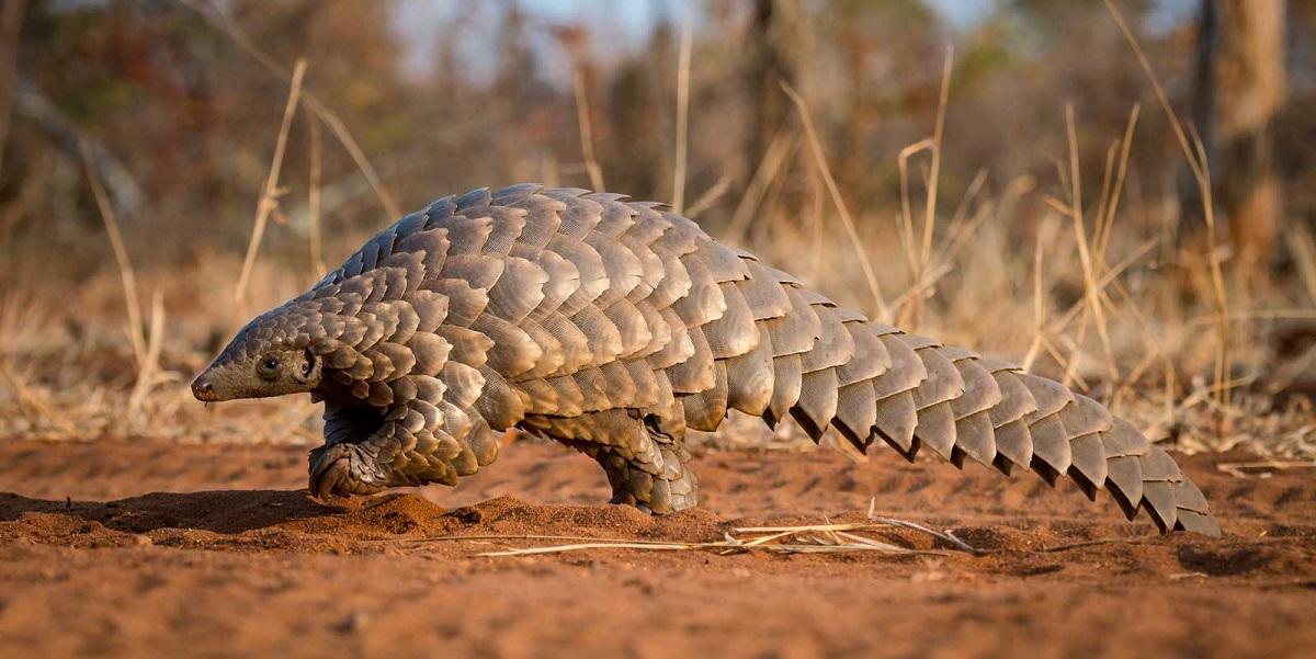 панголин, Африка, запрет на употребление в пищу