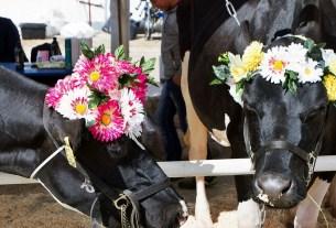 Онлайн конкурс, смотр коров