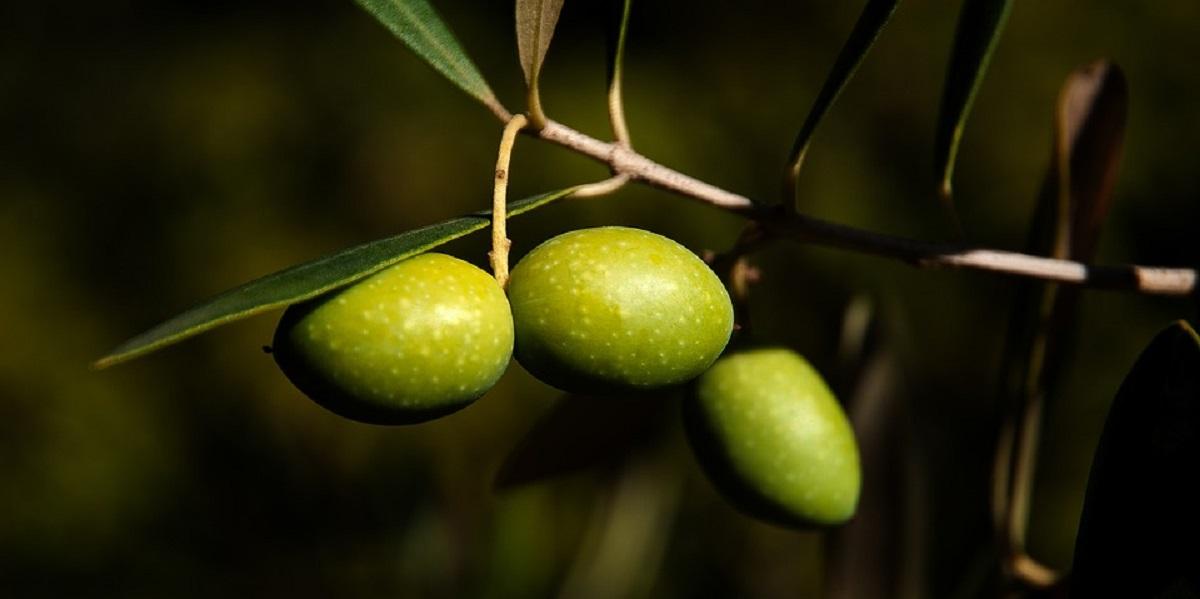 Крым, оливки, производство, оливковое масло