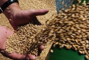PNAS, пшеница, вертикальная ферма, урожайность
