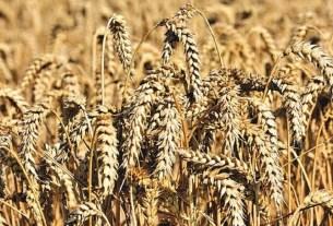 Россия, пшеница, мировое господство, зерно, импорт