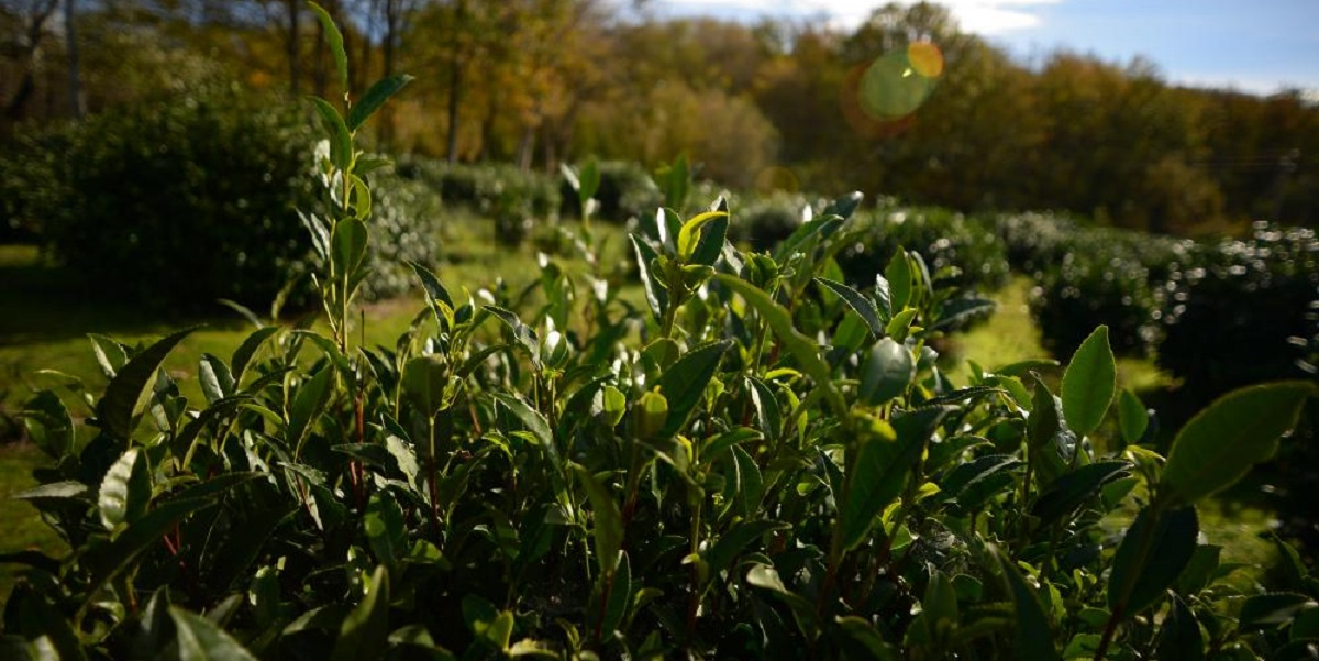 «Адыгейский» чай, Адыгея, урожай, жара,