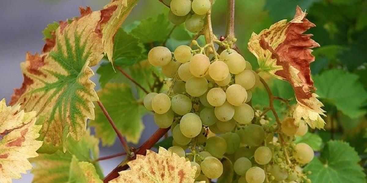 «Массандра», лоза, виноград, вино, виноделие,
