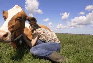 Нидерланды, коровы, ферма, борьба со стрессом, обнимание коров