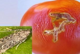 Азербайджан, импорт, Россельхознадзор, ограничения, Tuta absoluta, томатная моль
