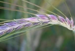 Сибирь, фиолетовозерная пшеница,генетика, антоцианы, болезнь Альцгеймера, деменция