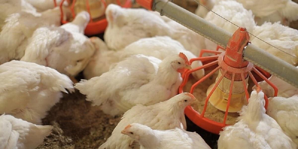 бетулин, корма с бетулином, вместо антибиотиков, цыплята-бройлеры