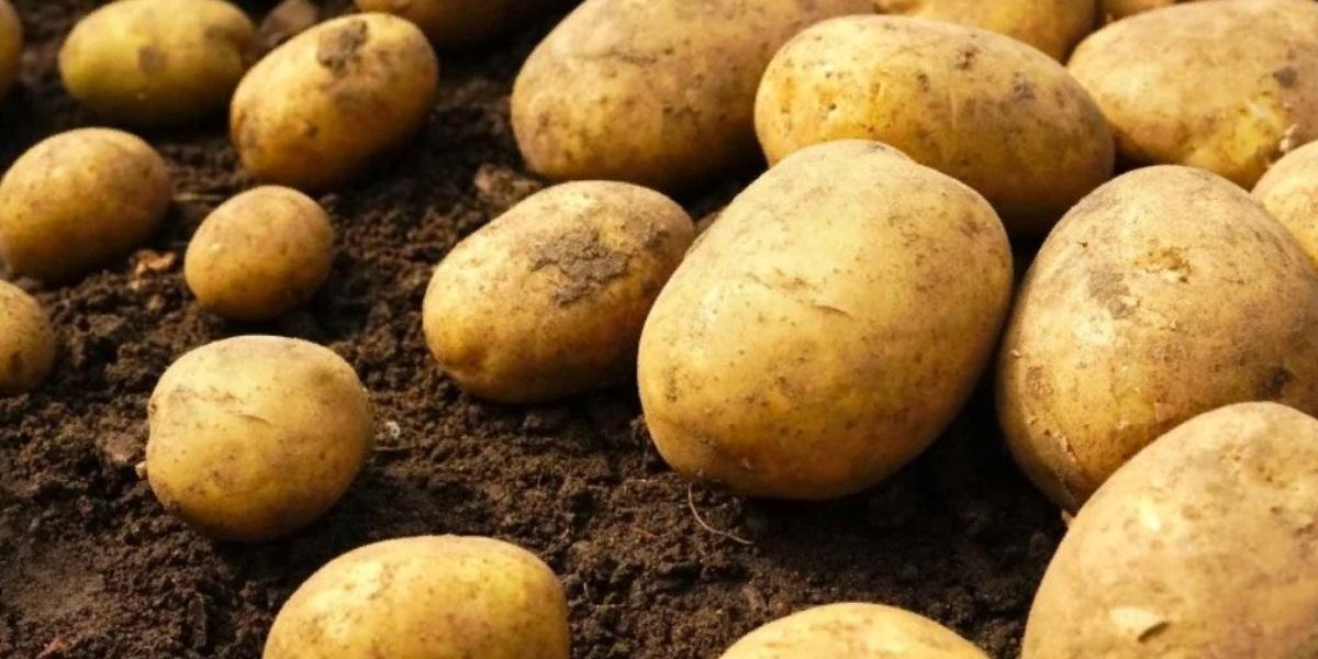 ICTA, Гватемала, гватемальский картофель, гмо картофель