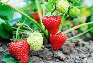 Бельгия, садоводы, инновации, беспилотники, клубника, прогнозирование урожая, Flanders Make