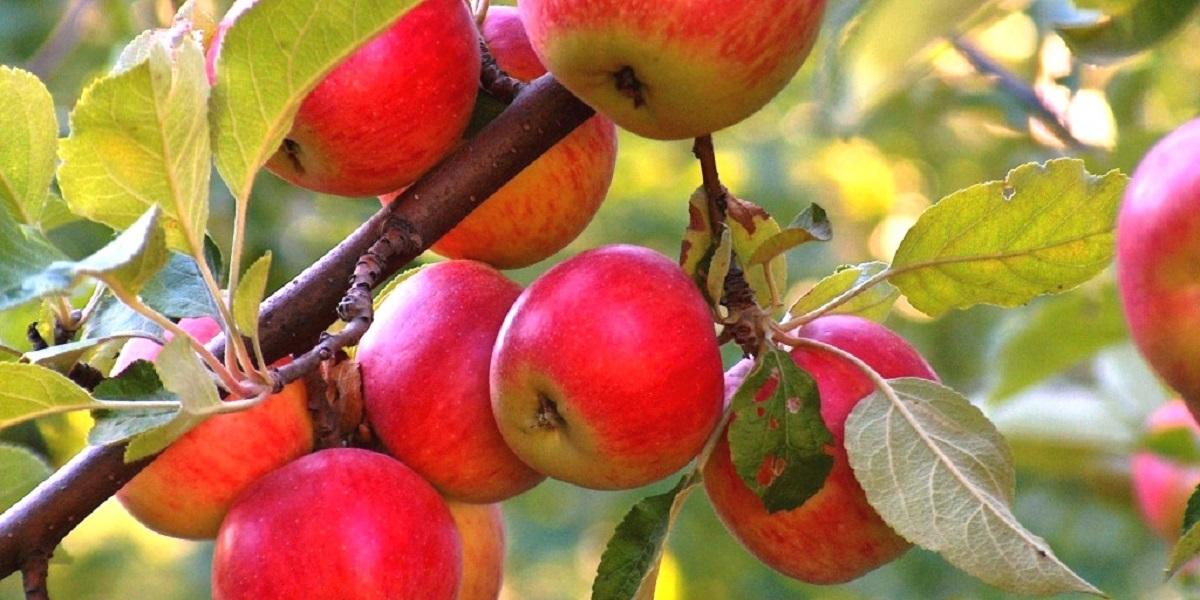 антибиотики в яблоке, стрептомицин, экология