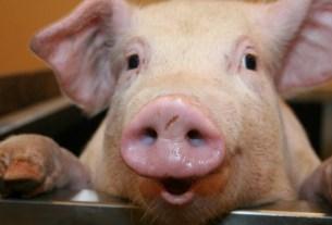 мясо, свинья, эмоции животных, качество эмоций, Вагенингенский университет