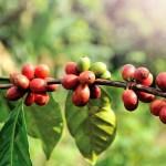 Кофейные деревья без кофеина, арабика, кофе, ученые, Бразилия