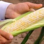 Кубань, суперсладкая кукуруза, сорт Биколор Гласид, суперсладкий гибрид, двухцветная кукуруза