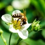 Пчелы, исследование, опыление, опыление клубники, кофеин
