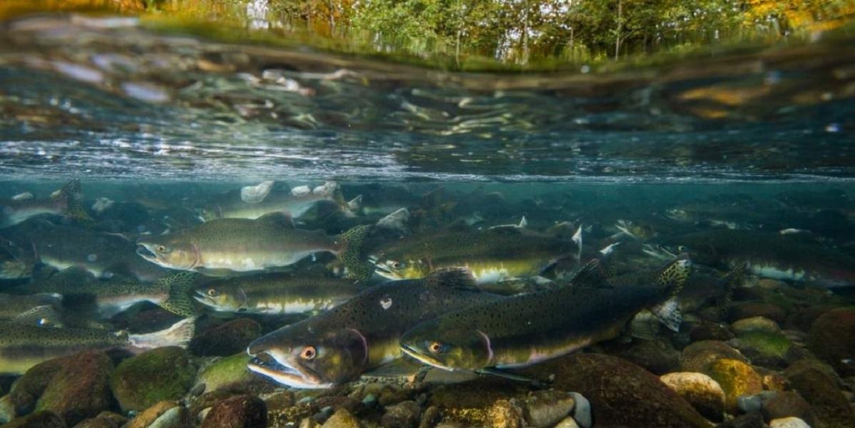 Российская горбуша, Норвегия, угроза для атлантического лосося, сокращение популяции