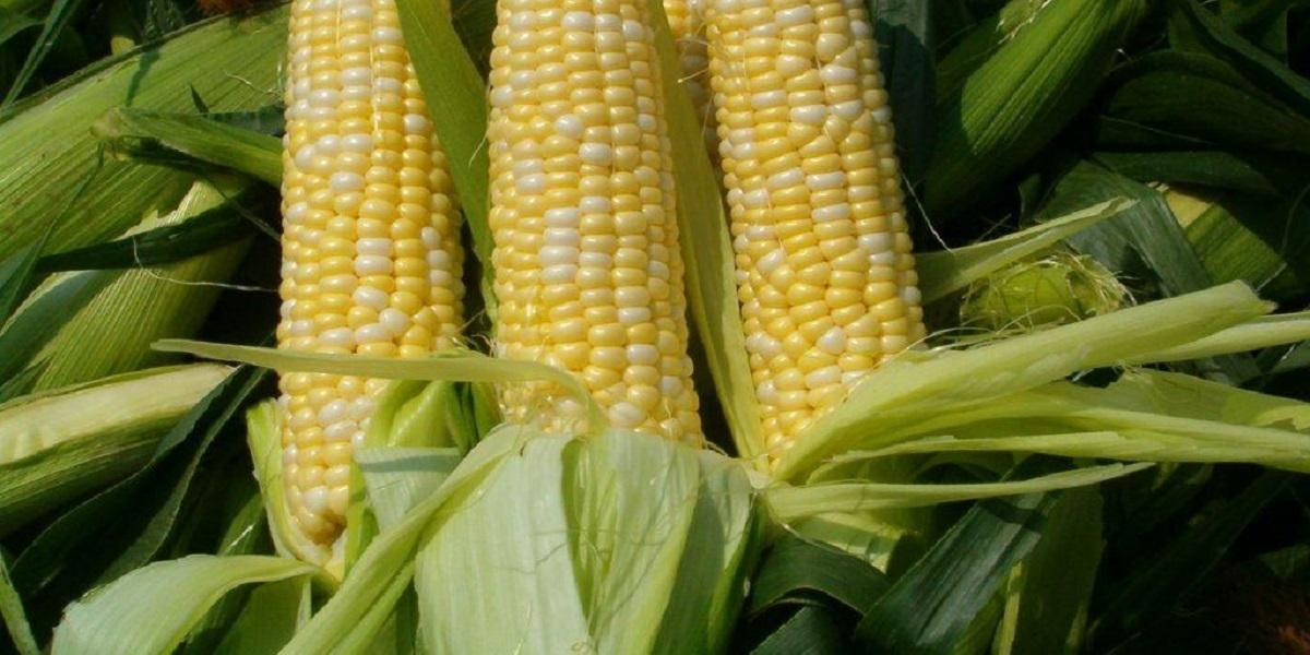 кукуруза, экология, пленочная кукуруза, биопленка