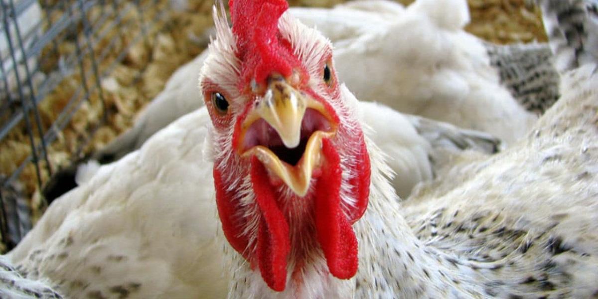 ветприпараты, лечение без антибиотиков, курица радуется, Алан Джагаев