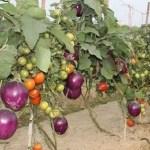 Бримато, помидор и баклажан, одно растение, IIVR, Индия