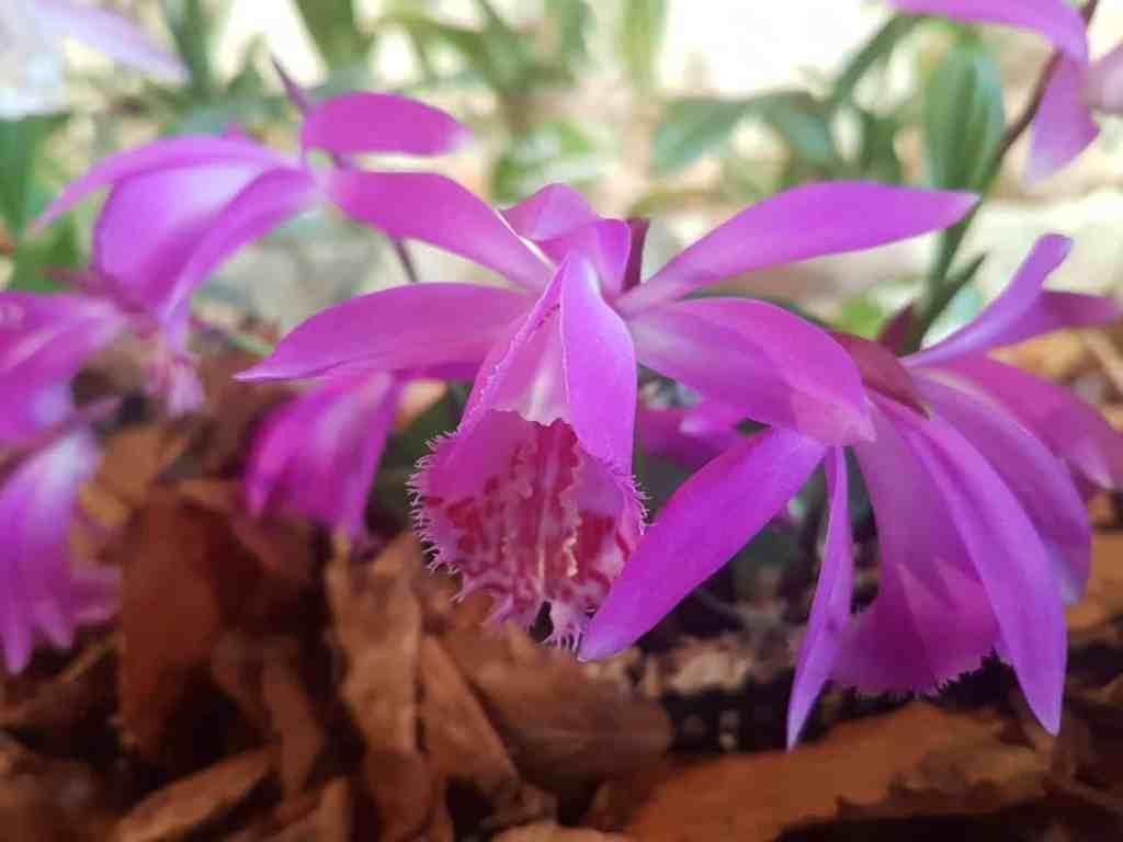 Pleionen nach der Blüte