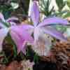 Pleione formosana