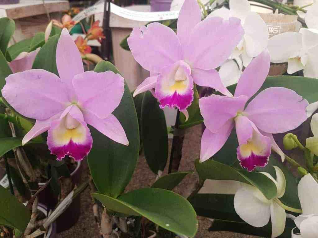 Cattleya Blüten