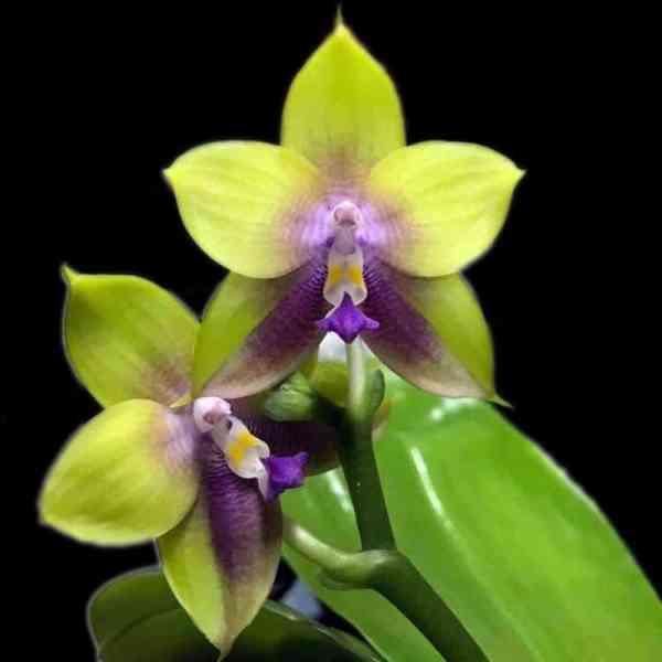 Phalaenopsis Mituo Prince Chin Ming